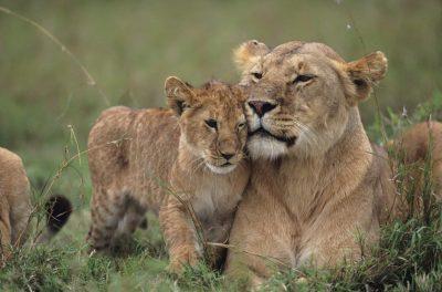 Loewenmutter und Junges - Kenia