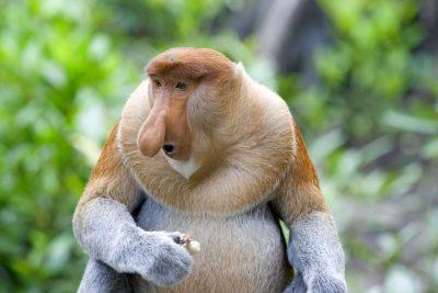 Borneo Gruppenreise -Nasenaffe - Sandakan - Malaysia