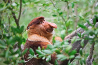 Borneo Individualreise -Borneo Rundreise -Gruppenreise Borneo -Nasenaffe im Baum - Bako National Park - Malaysia