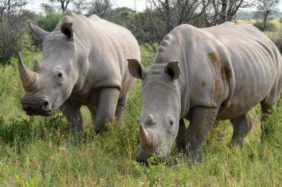 Nashoerner - Savuti Wildlife reserve - Botswana.