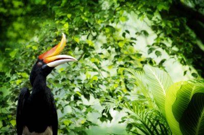 Rundreise Borneo -Borneo Gruppenreise -Nashornvogel - Mulu National Park - Borneo Malaysia