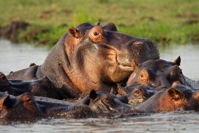 Nilpferd - Mumudu National Park Caprivi - Namibia