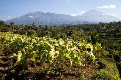 Plantage - Lombok - Indonesien