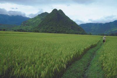 Vietnam Individualreise -Vietnam Gruppenreise -Reisfeld - Vietnam