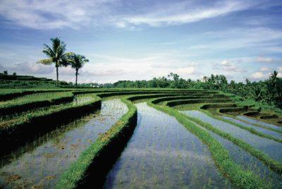 Landschaft - Bali Barat Nationalpark - Bali IndonesienIndonesien individuell -Reisterassen im Sonnenuntergang - bei Ubud - bali