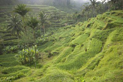 Bali Rundreise -Indonesien individuell - Reisterrassen - bei Ubud - Bali Indonesien