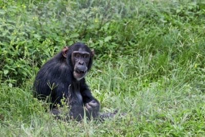 Uganda Gruppenreise - Uganda Rundreise -Schimpanse - Kibale National Park - Uganda