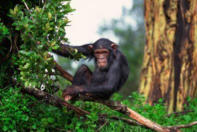 Uganda Gruppenreise - Schimpanse im Baum - Queen Elizabeth National Park - Uganda