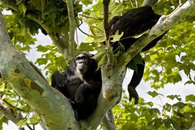 Uganda Gruppenreise - Uganda Rundreise -Schimpansen im Baum - Kibale National Park - Uganda