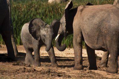 Suedafrika Naturreisen - Suedafrika Individualreise - Spielende Elefanten - Addo Elephant Park - Suedafrik