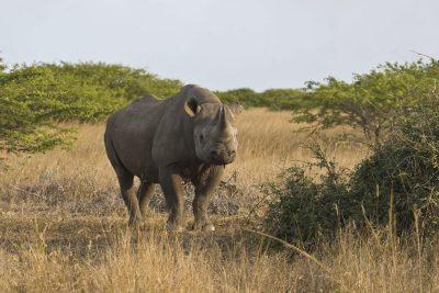 Suedafrika Erlebnisreise - Spitzmaulnashorn - Addo Elephant Park - Suedafrika
