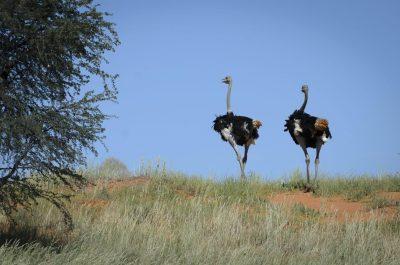 Strauße - Erongo - namibia