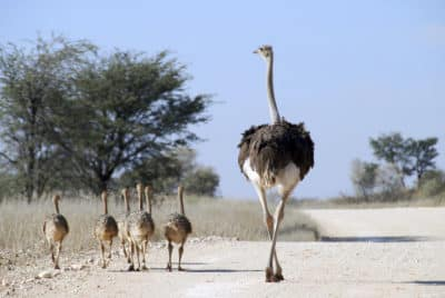 Straußenfamilie - Namibia