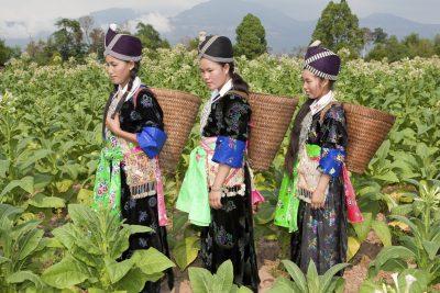 Thailand Individualreise -Laos Reise -Laos Erlebnisreise -Laos Individuelle Rundreise -Tabakplantange - Laos