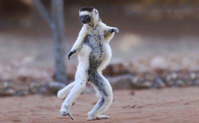 Madagaskar Gruppenreise -Tanzender Affe - Reservat - Madagaskar