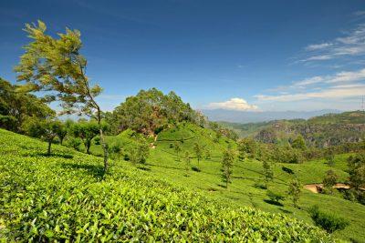 Sri Lanka Rundreise -Teefelder - bei Kandy - Sri Lanka