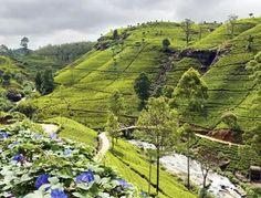 Sri Lanka Rundreise - Nuwara Eliya - Teeplantagen