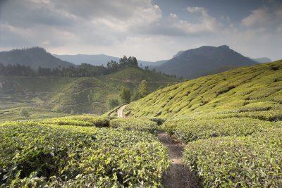 Teeplantange - Sri Lanka