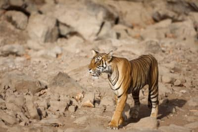 Tiger - Ranthambore Nationalpark - Indien