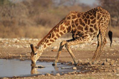 Namibia Abenteuerreise - Namibia Suedafrika Rundreise - Trinkende Giraffe - Etosha Park - Namibia