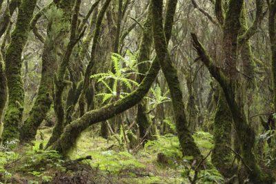 Wald - Garajonay - La Gomera - Spanien