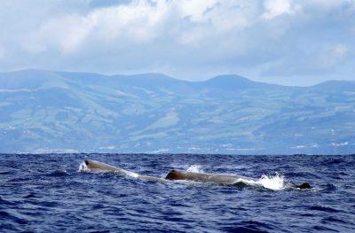 Wale - Azoren - Portugal