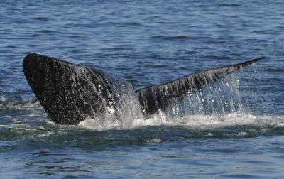 Walfluke - Hermanus - Suedafrika