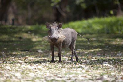 Warzenschwein - Tuli Block Mashatu Reservat - Botswana