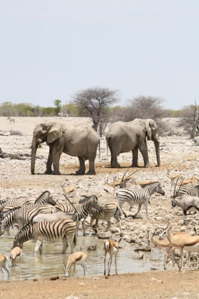 Wasserloch Okaukuejo - Etosha National Park - Namibia