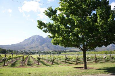 Weingebiet in Stellenbosch - Stellenbosch - Suedafrika