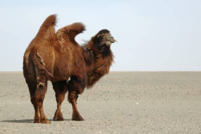 Gruppenreise Mongolei -Wuestenkamel - Wueste Gobi - Mongolei