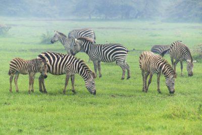 Zebras - Masai Mara - Kenia