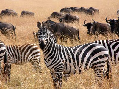 Zebras - Masai Mara Nationalpark - Kenia