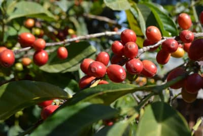 Äthiopien Kaffeebeeren an Kaffeeplantage