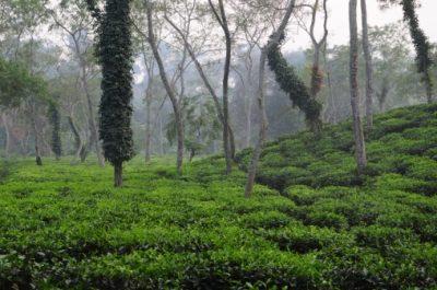 Bangladesch Rundreise - Teeplantage - Srimongol