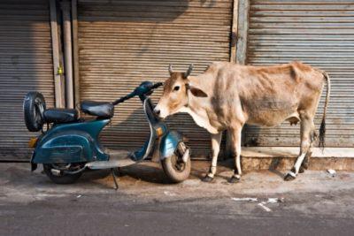 Indien Rundreise- Kuh und Motorroller - Old Dehli