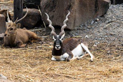 Indien Rundreise - Schwarzbockantilope oder Hirschziegenantilope - Rohat
