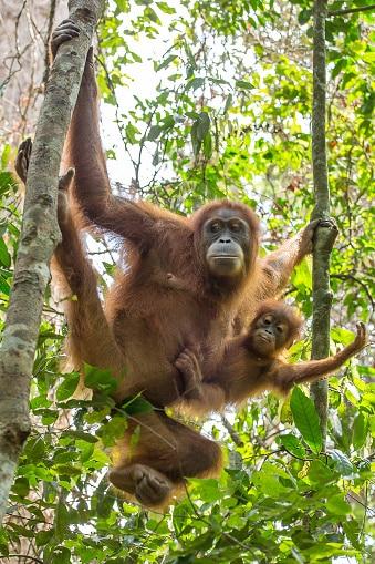 Indonesien Rundreise - weiblicher Orang Utan mit Baby - Gunung Leuser Nationalpark