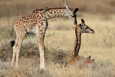 kleine Giraffe - Serengeti - Tansania