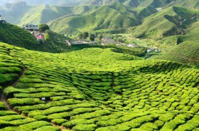 Malaysia Rundreise - Blick auf eine Teeplantage - Cameron Highlands