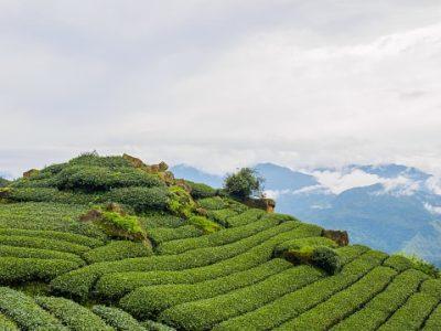 Myanmar Rundreise - Teeplantage -Shan Berge