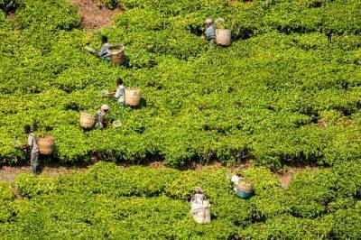 Tansania Rundreise - Teeernte auf der Mbuyuni Farm - Morogoro