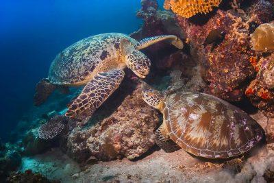 Borneo Rundreise -Studienreise Borneo -zwei Meeresschildkroeten - Borneo - Malaysia