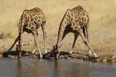 zwei trinkende Giraffen im Etosha Nationalpark - Namibia