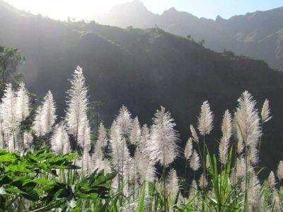 Zuckerrohr - Santo Antao - Kap Verde