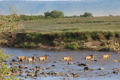 Lowen durchqueren einen Fluss - Serengeti National Park - Tansania