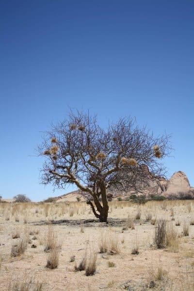 Baum mit Vogelnestern - Damaraland - Namibia
