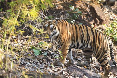 Indien Gruppenreise -Tiger - Indien - Rundreise