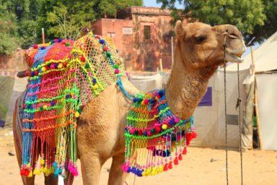Indien Rundreise - Dekoriertes Kamel während des Pushkar Festes - Pushkar
