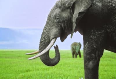 Elefant - Serengeti - Tansania